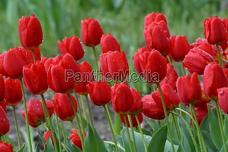 tulpen in voller bluete