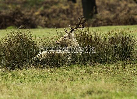 grossbritannien leicestershire bradgate park weissfallow hirsch