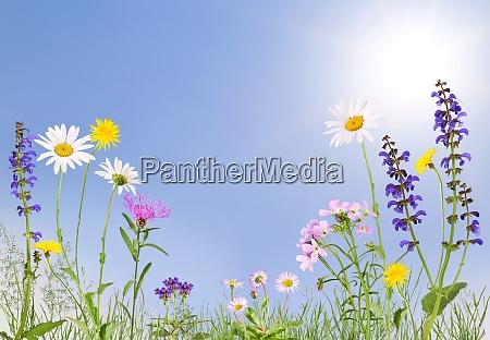 wiese mit kuckucksblume gaensebluemchen gaensebluemchen und