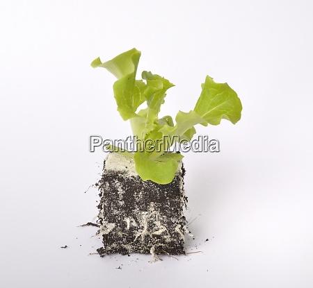 batavia salatpflanzen