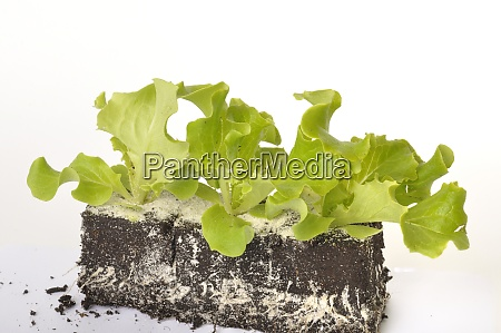 batavia, salatpflanzen - 28975273