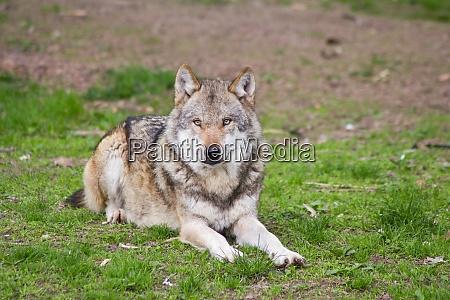 der europaeische wolf canis lupus
