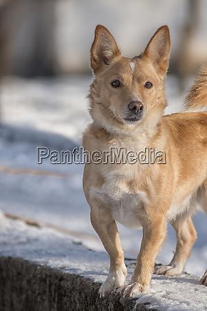 roter hund geht im winter auf