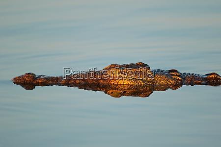 nilkrokodil portraet krueger nationalpark