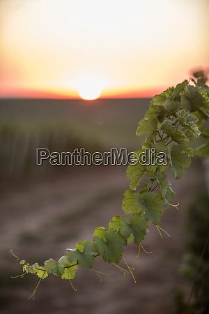 gruene rebe bei sonnenaufgang