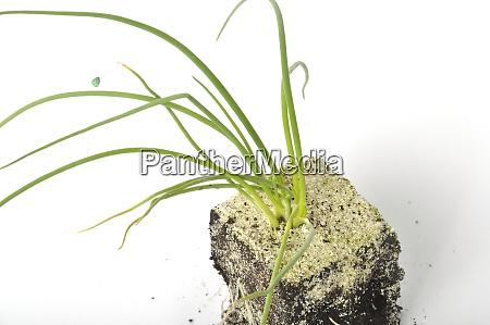 weisse zwiebelpflanzen