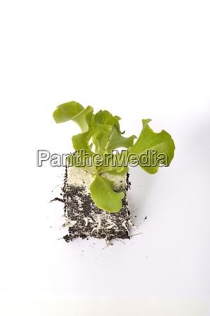 batavia, salatpflanzen - 29016782