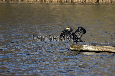 kormoran mit offenen fluegeln am cripplegate