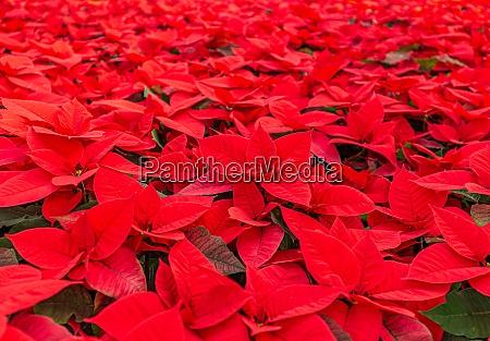 schoene leuchtend rote poinsetta pflanzen