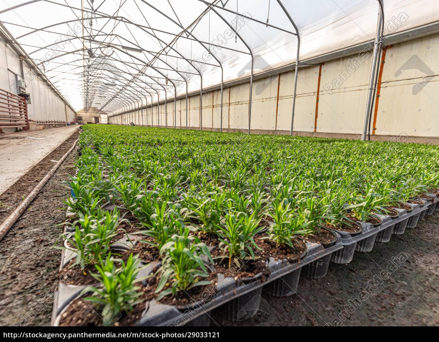 kleine, junge, dianthuspflanzen - 29033121