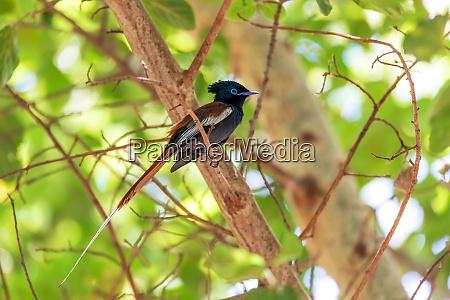 schoene farbige kleine vogel african paradise