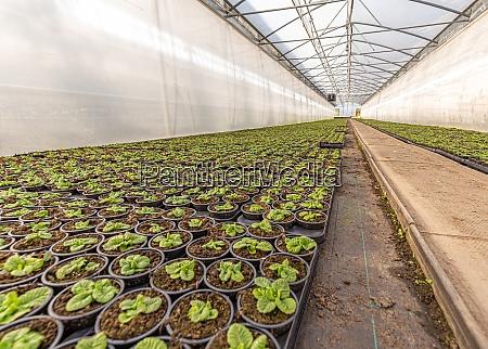 kleine junge primulapflanzen