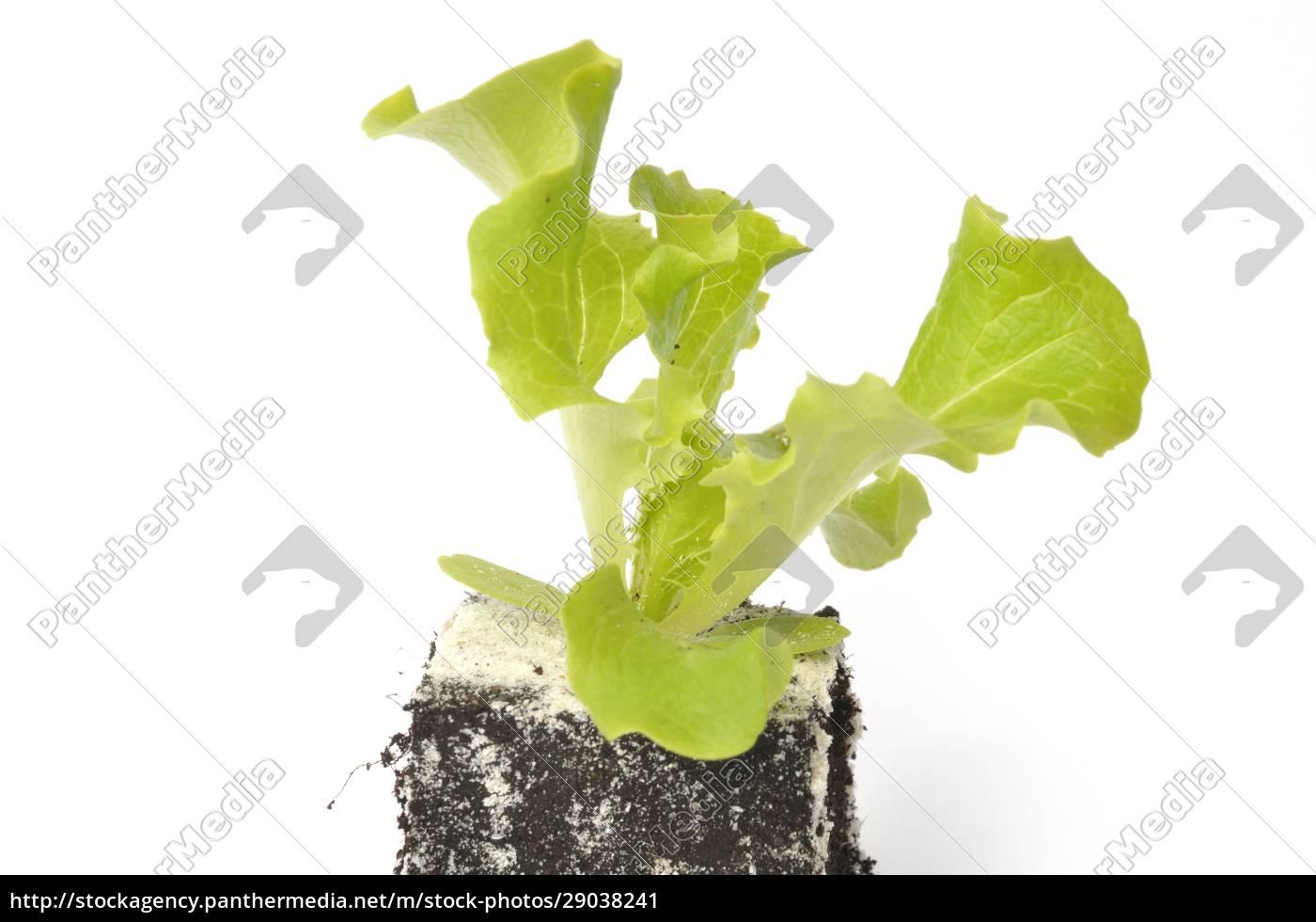 batavia, salatpflanzen - 29038241