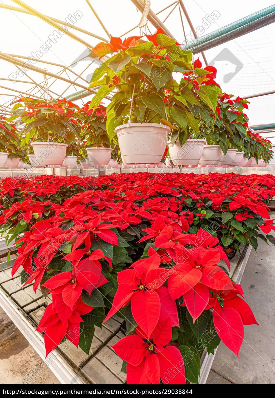 rote, poinsettia, blühende, pflanzen - 29038844