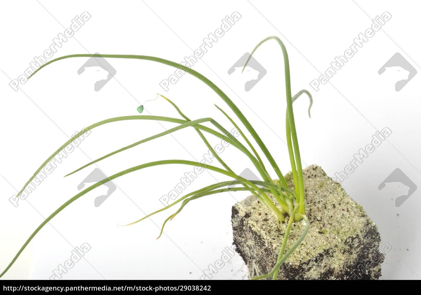 weiße, zwiebelpflanzen - 29038242