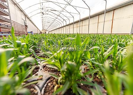 junge, dianthuspflanzen - 29041995