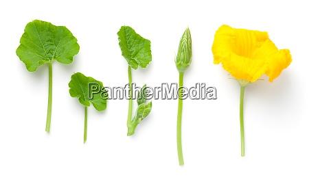 teile der kuerbispflanze