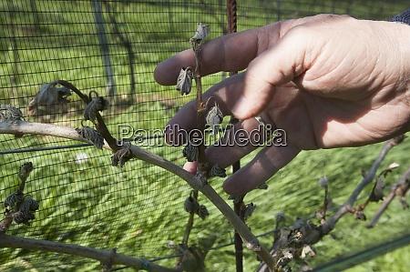 frost, damage, in, wine, plants - 29045185
