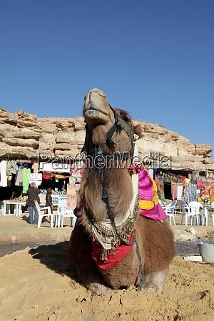 kopf eines kamels