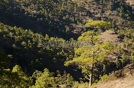 wald der kanarischen kiefer pinus canariensis
