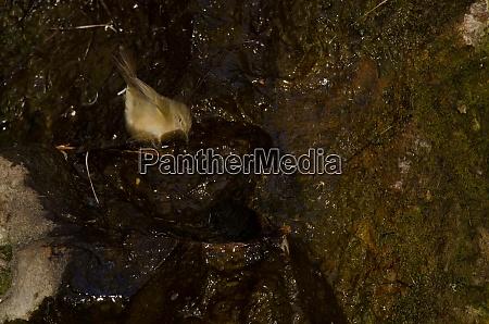 kanarische inseln chiffchaff baden in einer
