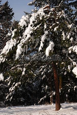eine tanne im schnee