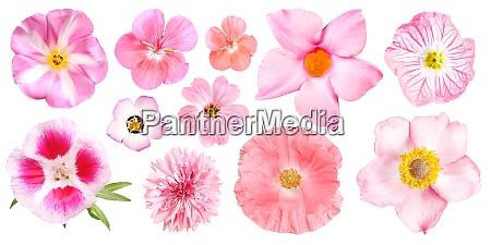 gruppe von verschiedenen rosa gartenblumen isoliert