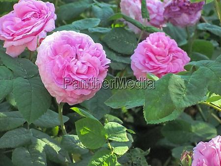 rosa rosen in gruenen blaettern