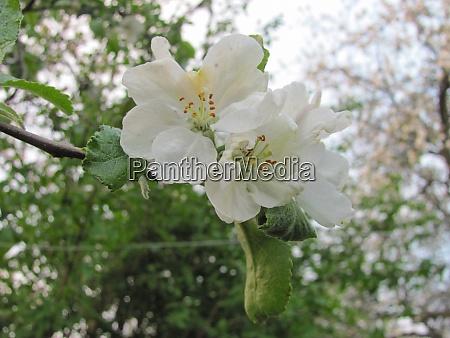 weisse zarte apfelbaumblumen