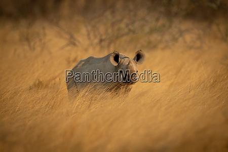 baby schwarze shorn im gras beobachten