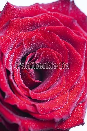bouquet von frischen rosen floralen hintergrund