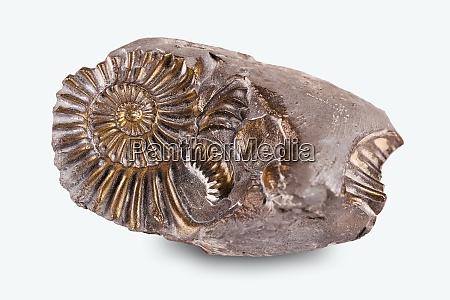 versteinerte schnecke im stein ammoniten