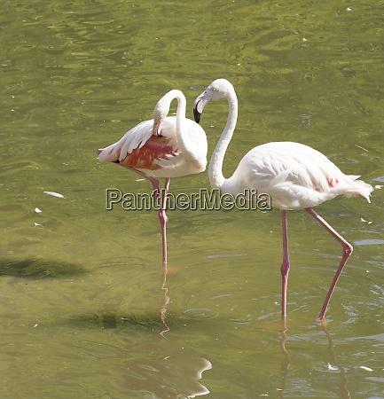 flamingos ruhen
