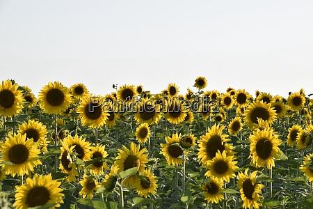 feld bluehender sonnenblumen