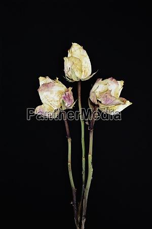 drei verderbte rosenblueten vor schwarzem hintergrund
