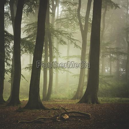 buchenwald am naerrischen sommermorgen