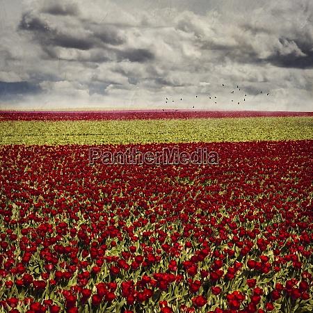 deutschland juechen tulpenfelder