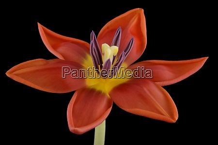 rote tulpe vor schwarzem hintergrund