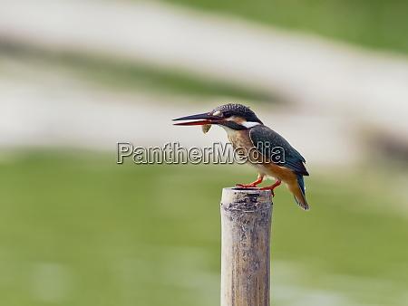 eisvogel alcedo atthis mit fischen