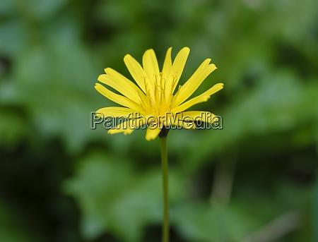 gelb bluehendes gaensebluemchen aposeris foetida