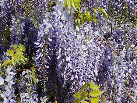 blauregen wisteria sinensis chinesischer glyzin