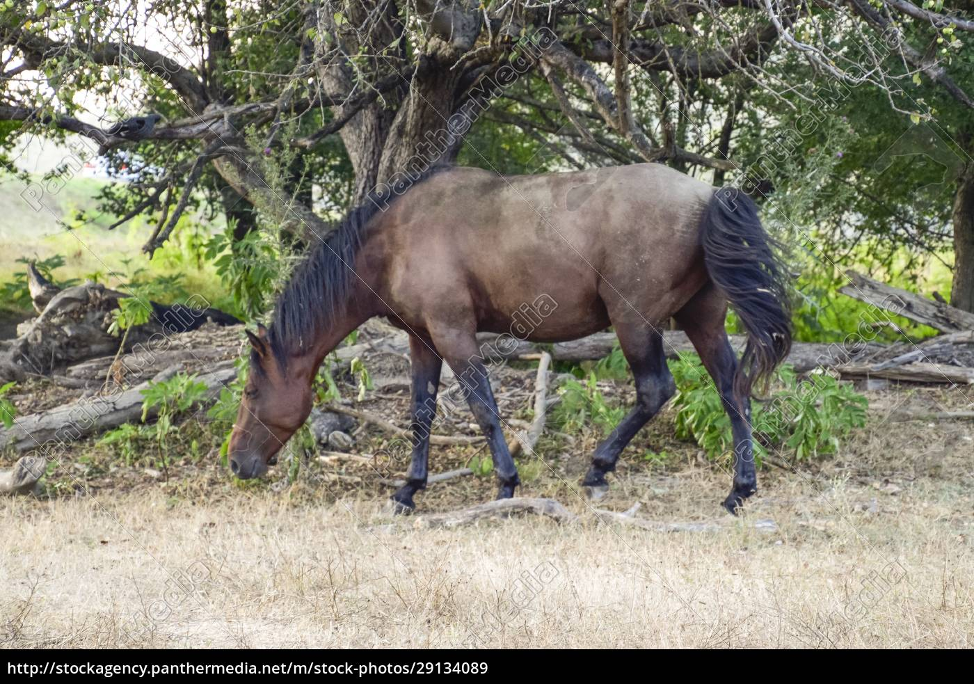 horses, walk, in, line, with, a - 29134089