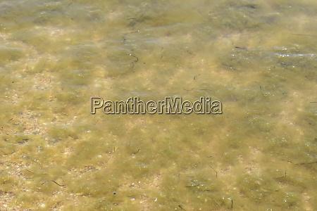 kuestenwellen meerwasser mit algen kuestenalgen meerstrand