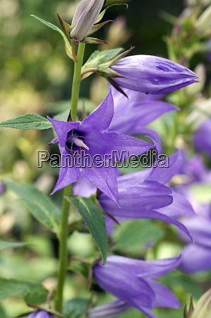 breiblaettrige glockenblume campanula latiifolia