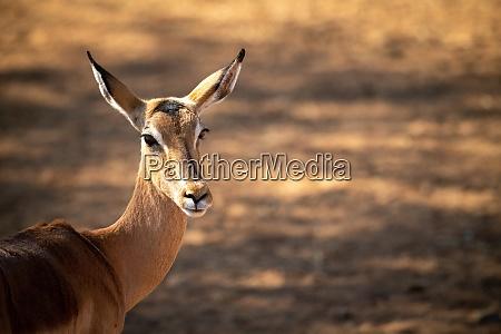 nahaufnahme des weiblichen gemeinsamen impala drehkopfes