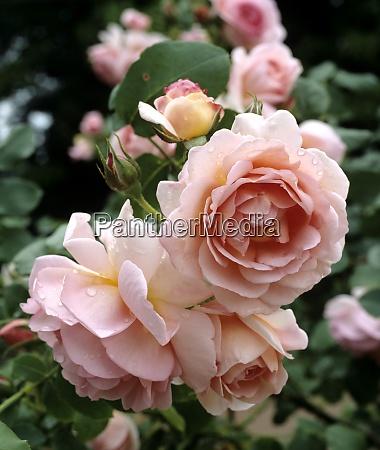 englische rose held