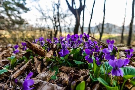 viel frisches violett auf dem waldboden