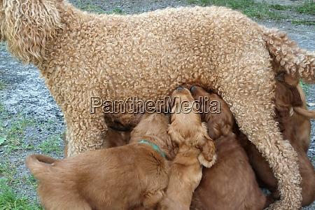 pudel mama fuetterung ihre babys