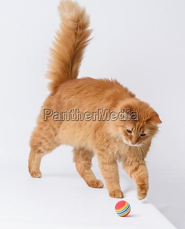 erwachsene flauschige rote katze spielt mit