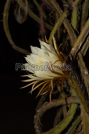nahaufnahme des bluetenkopfes eines kaktus der